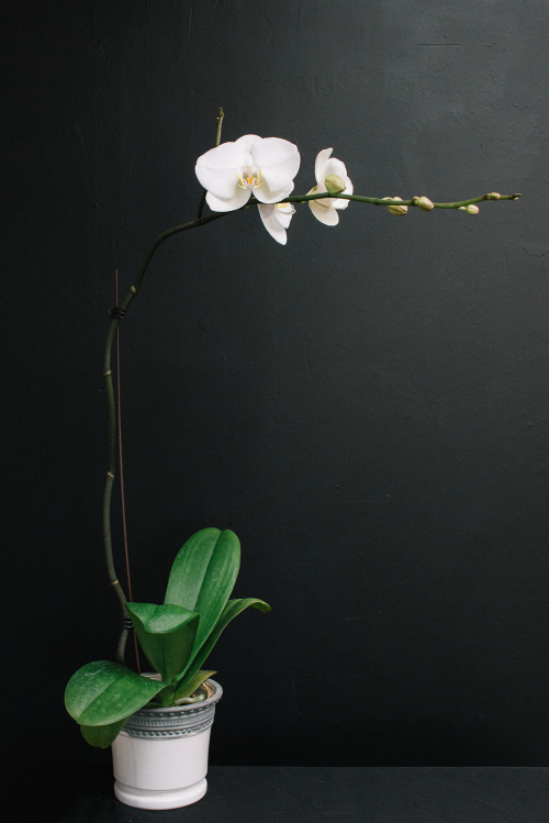 Mission de Flores Blog: Flowers To Give For Sympathy - white orchid