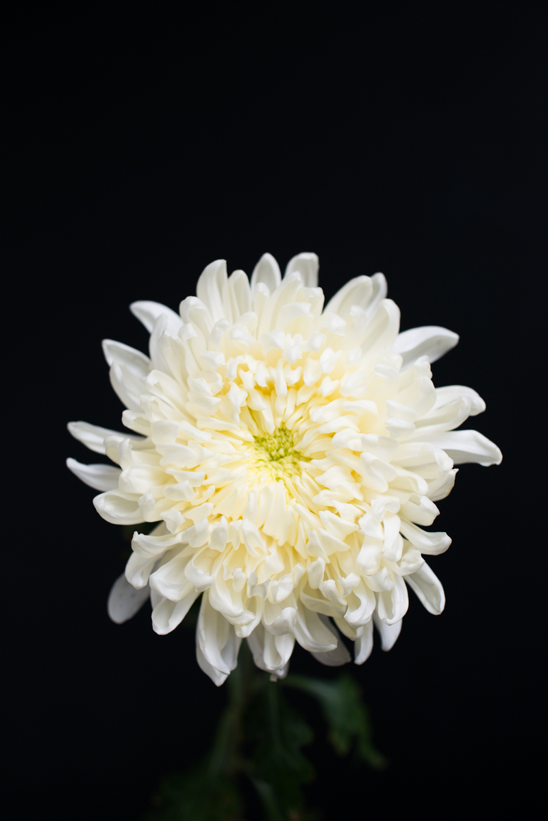 Mission de Flores Blog: Flowers To Give For Sympathy - football chrysanthemum