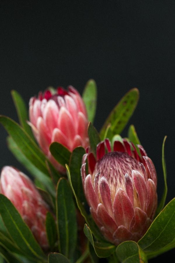 proteas flowers.jpg