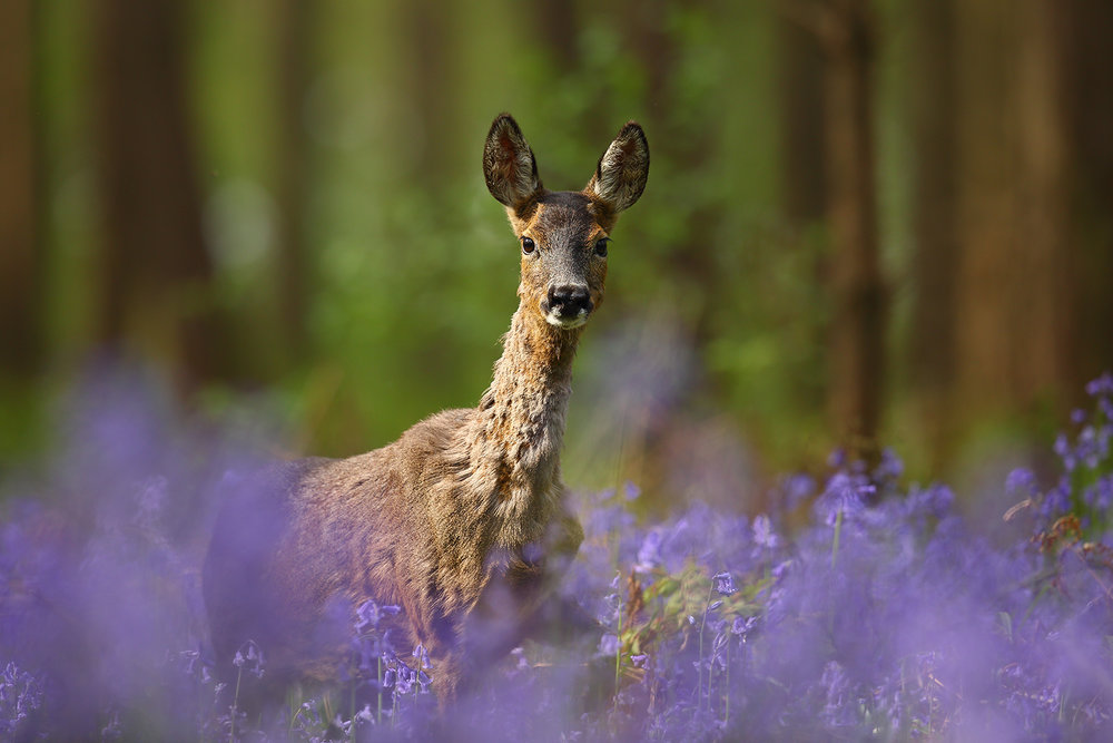 Bambi in Bluebells.jpg