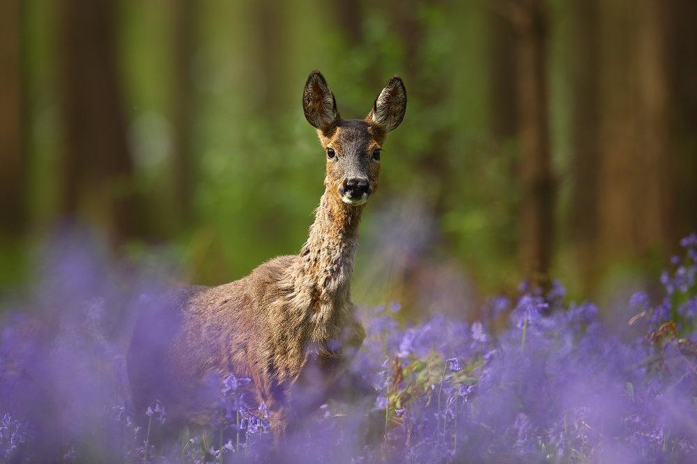Bambi in Bluebells.jpg