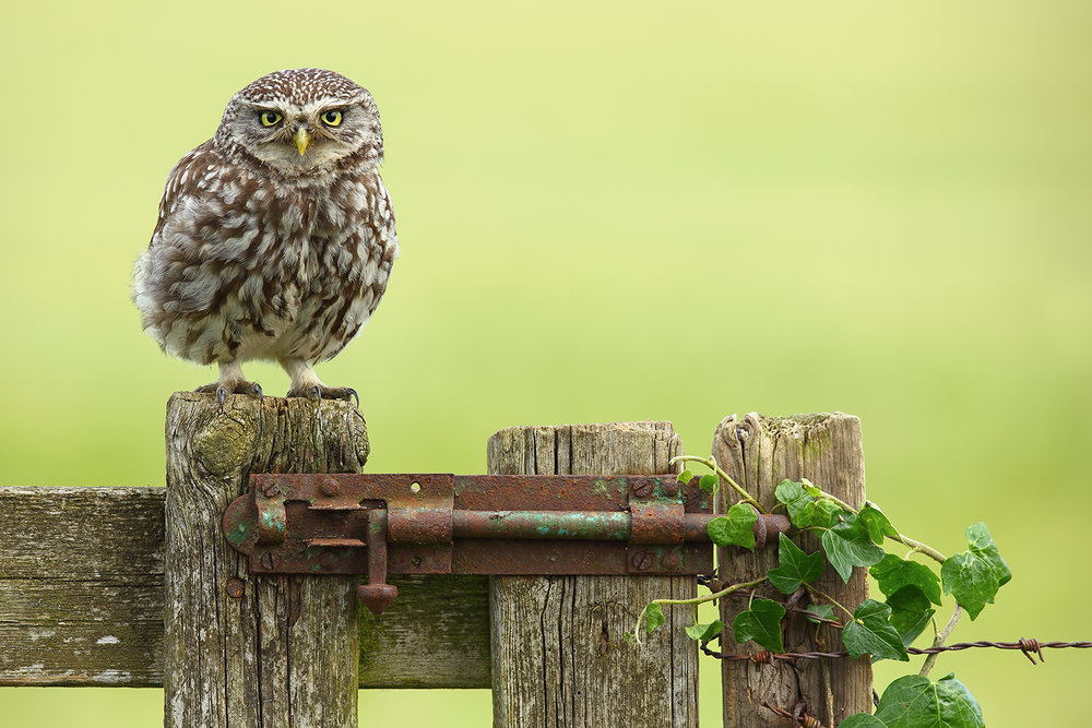 Wild Little Owl.jpg