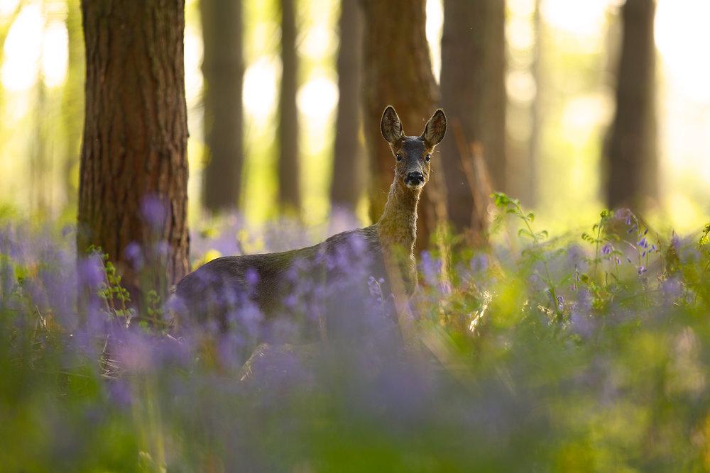 Backlit Bambi.jpg