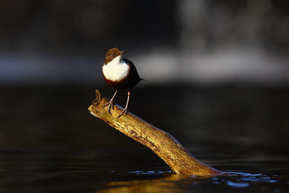 Dipper on Driftwood.jpg