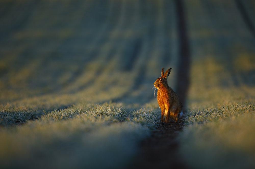 Frosty Hare.jpg