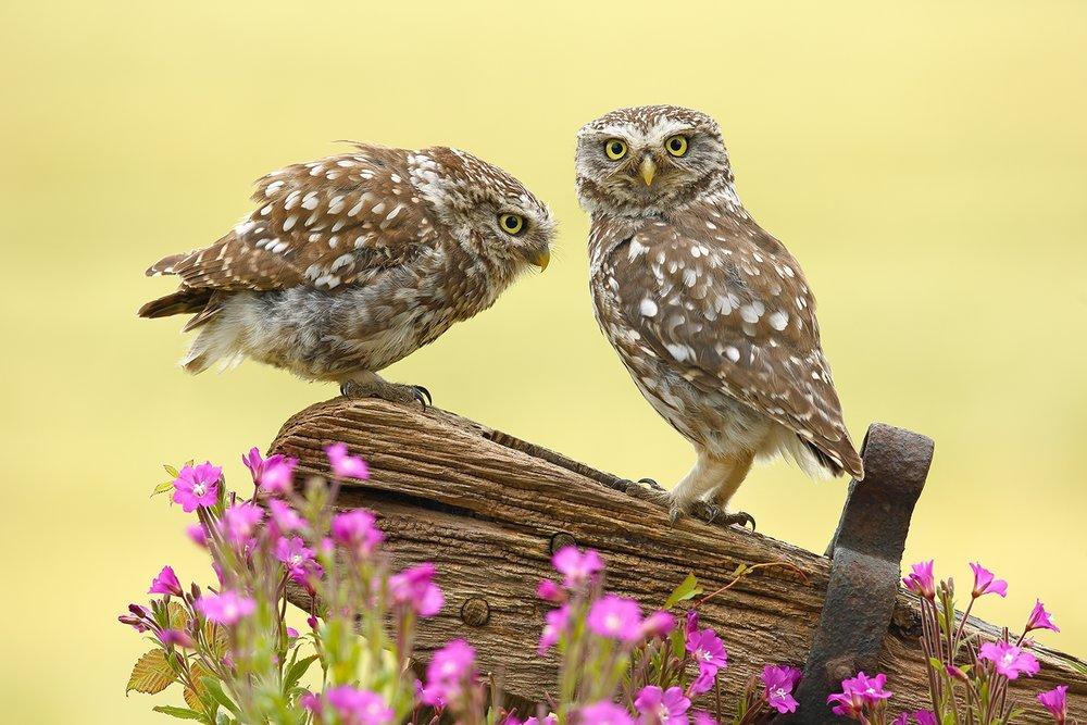 Two Little Owls.jpg