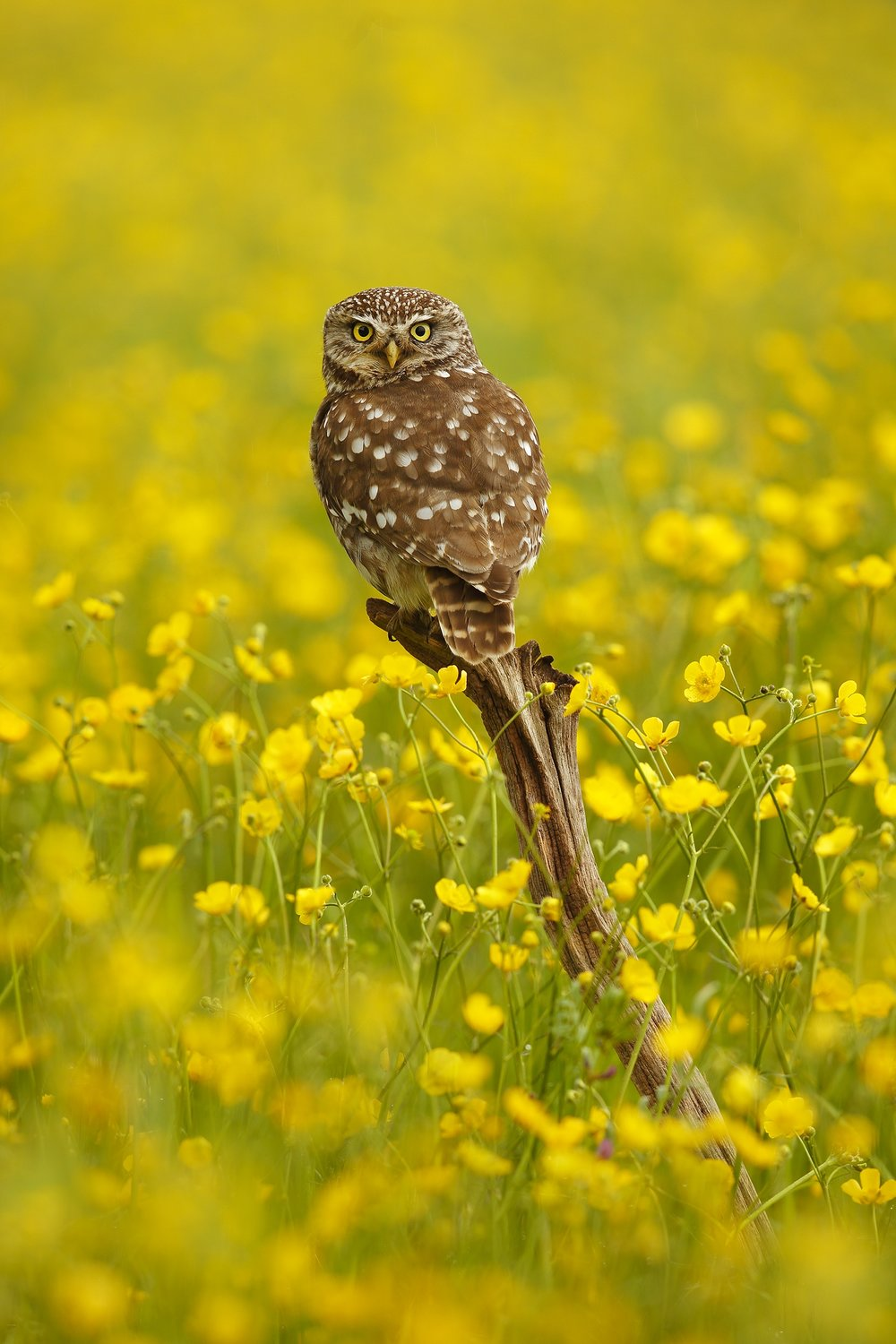 Little Owl in Buttercups