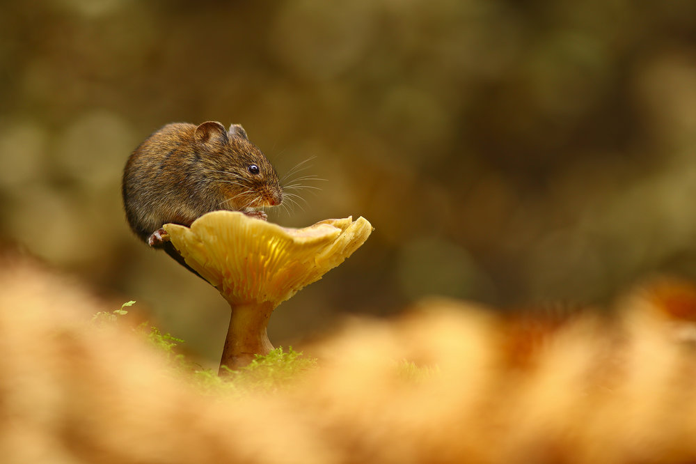 The Vole and the Mushroom.jpg
