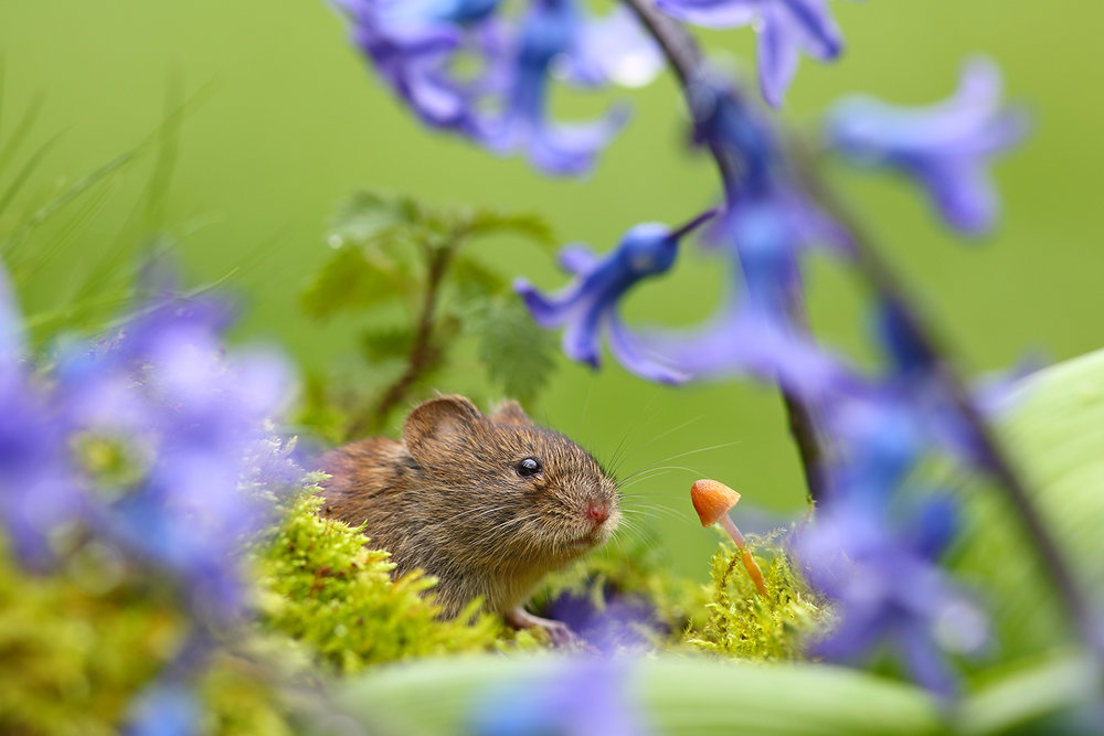Vole in Blue.jpg