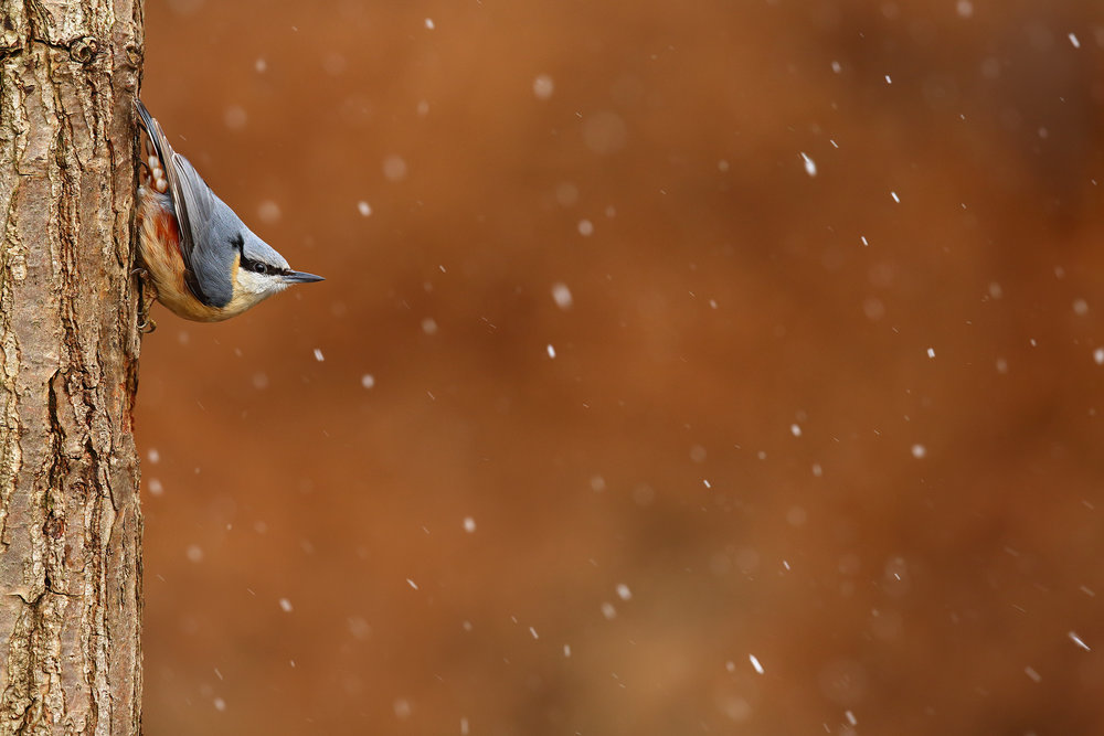 Nuthatch_in_Falling_Snow.jpg