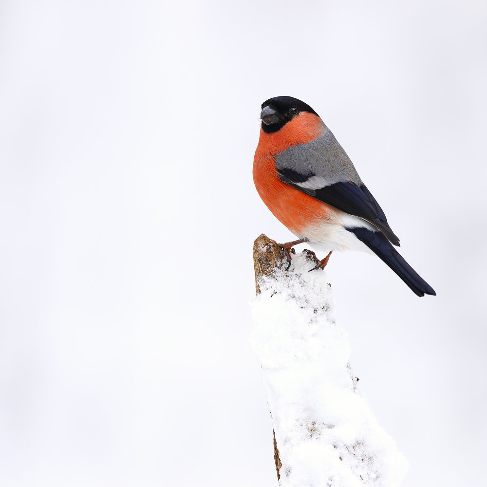 male, bullfinch, simon, roy, photography, winter, snow, woodland, hide