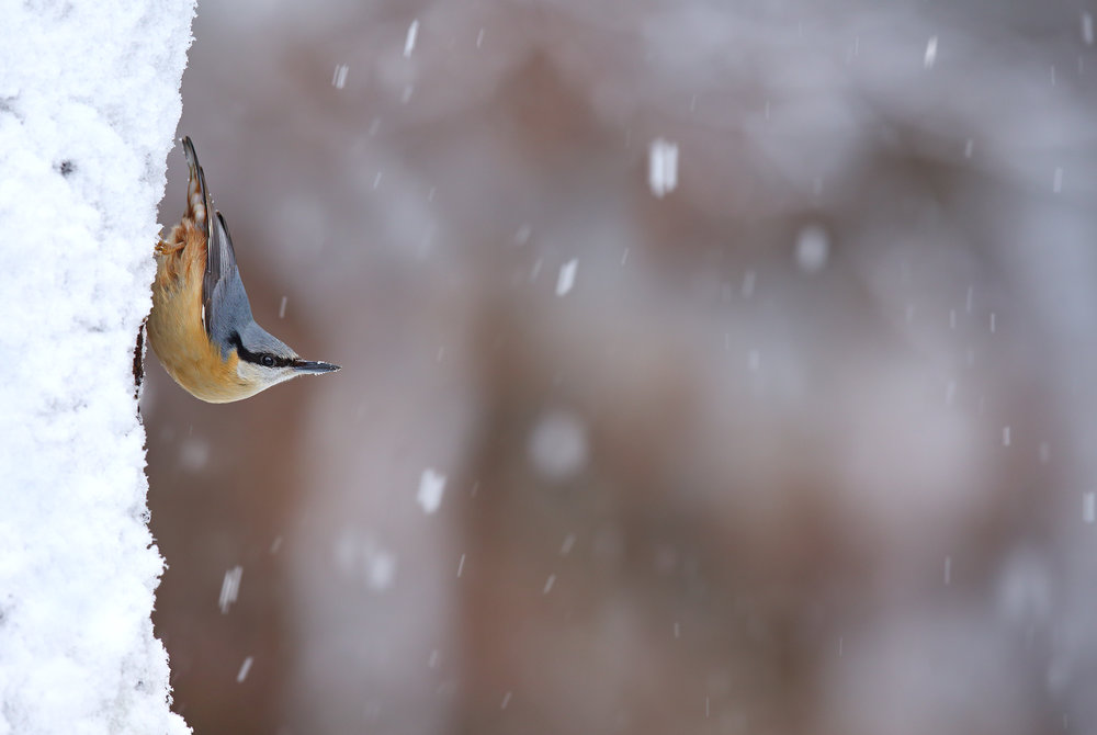 Nuthatch in Snowfall.jpg