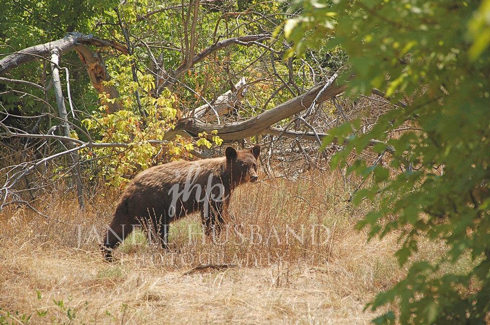 Bear-near-Jones-Creek-Trail-DNM-8.23.12-DSC_0825.jpg