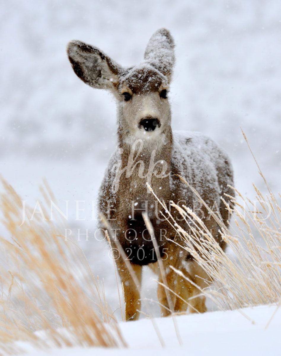 Blanketed-Deer-DSC_0056.jpg