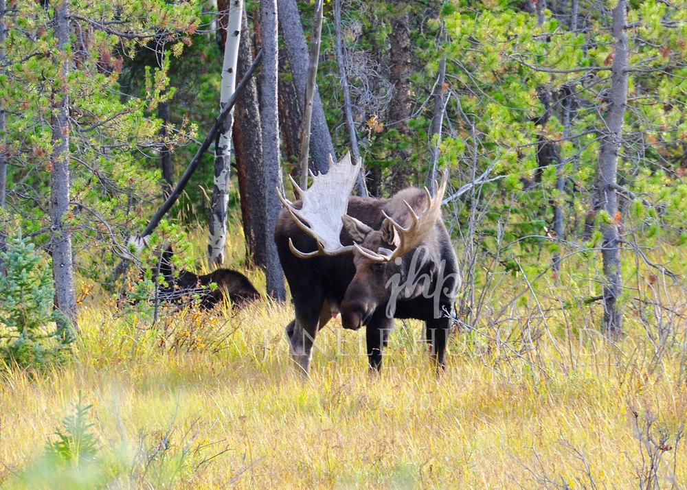 Bull-Moose-RMNP-9.13.15-DSC_7200.jpg