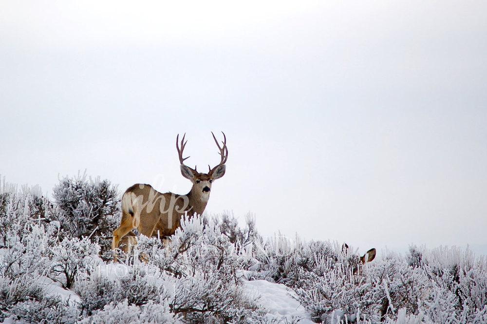 Deer-MC-105-DSC_0118.jpg