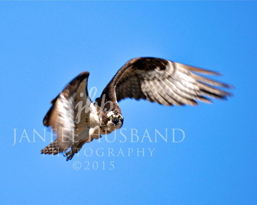 Osprey-Stare-Down-DSC_6408.jpg