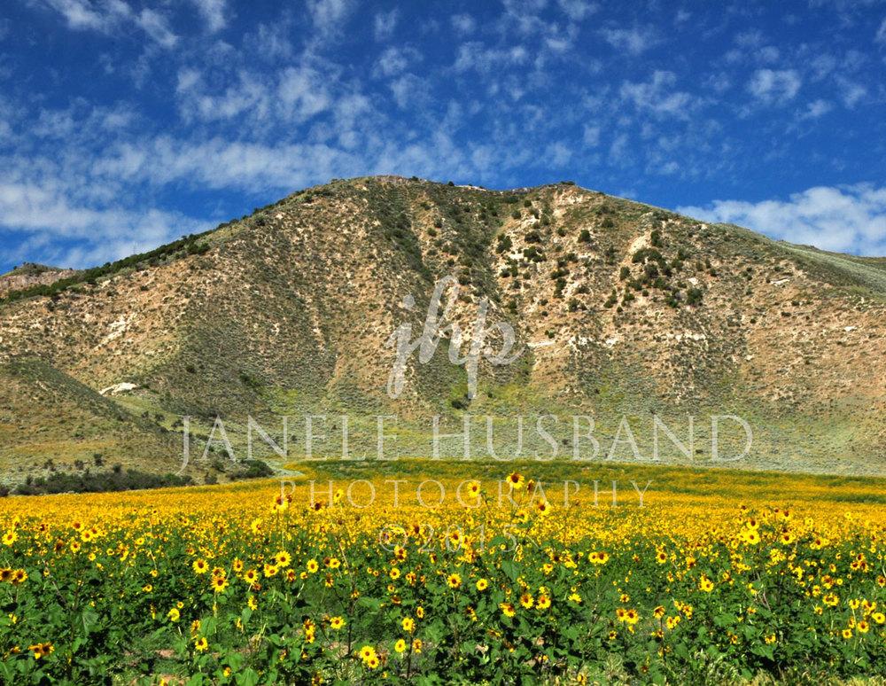Field-of-Sunflowers-DSC_3718.jpg