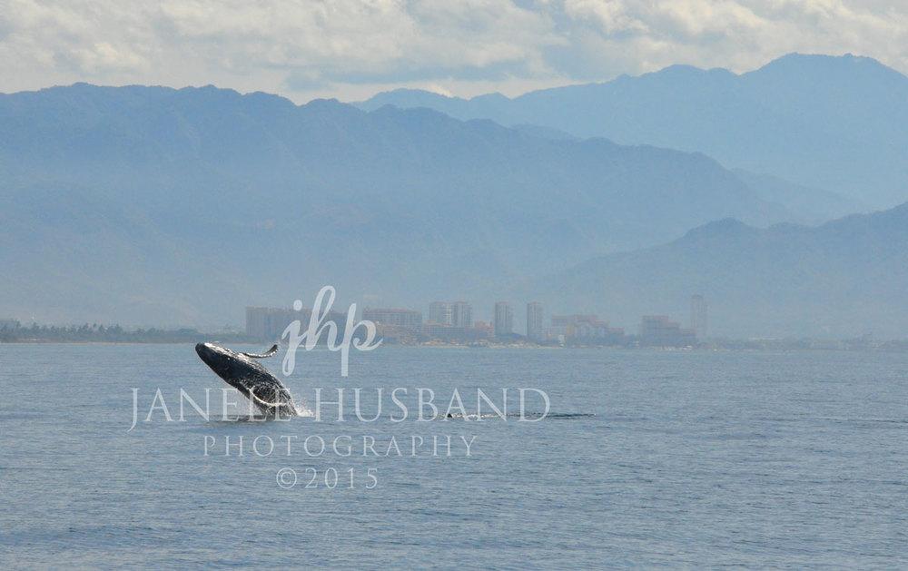 Breaching-Whale-P.-Vallarta-2.13.12-DSC_2880_2.jpg