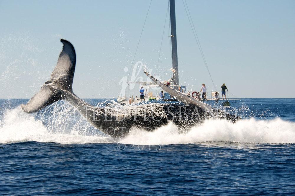 Humpback-Whale-3.2014-Cabo-DSC_4497.jpg