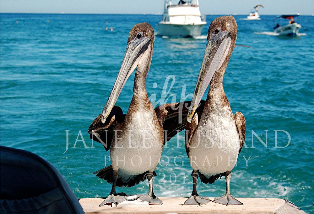 Pelican-Pals.jpg