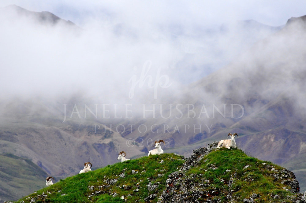 Dall Sheep in Denali DSC_2918.jpg