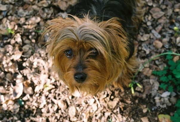 We offer our condolences to our employee Laura, whose dog Luna passed away this weekend. She was a beautiful 12-year-old Australian Silky Terrier. May she rest in peace.