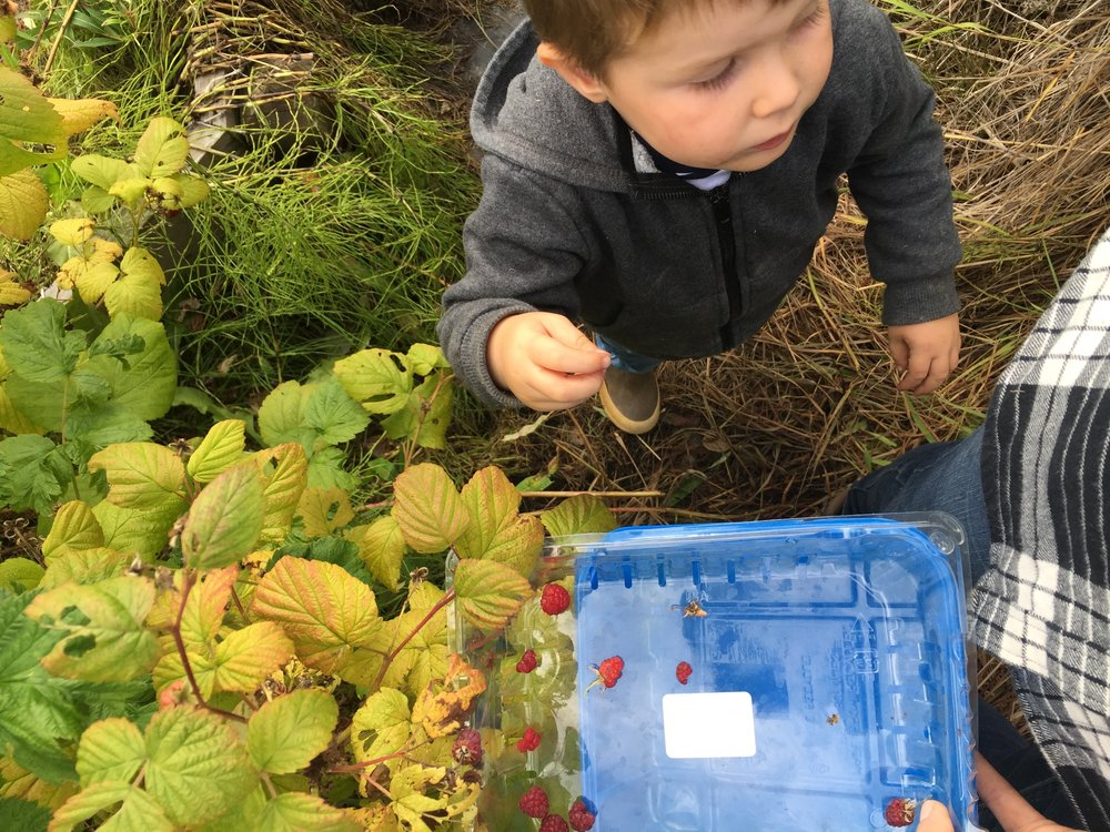 Eating the raspberries almost as fast as we picked them.
