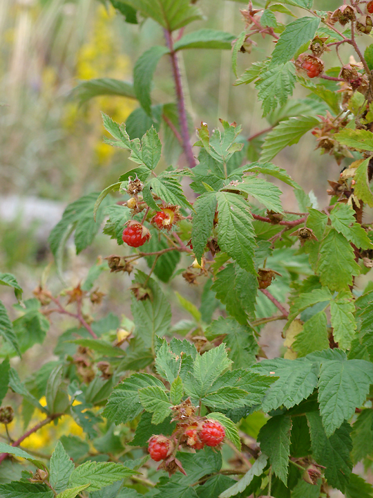 2011 Luckett Land Aug 14 494 Raspberries_72