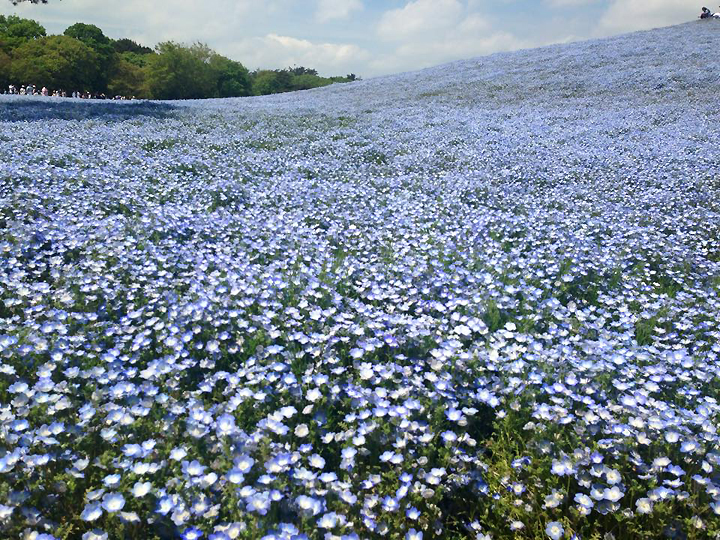 Japan-Koll-coll-photo-cherry-blossoms-park-blue-flowers_72.jpg