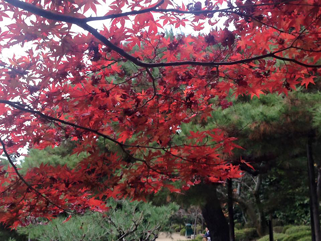Coll Japan 2015 Nov 22 Red leaves_72