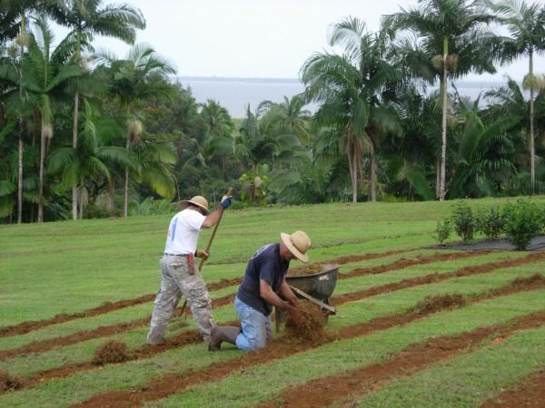 Tea Onomea_WorkersPlanting.jpg
