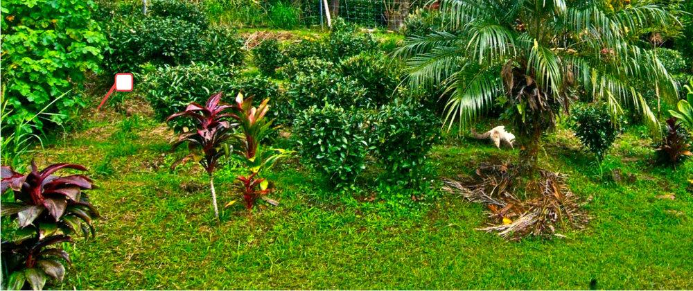 BigIsland_Tea plants in the forest.jpg