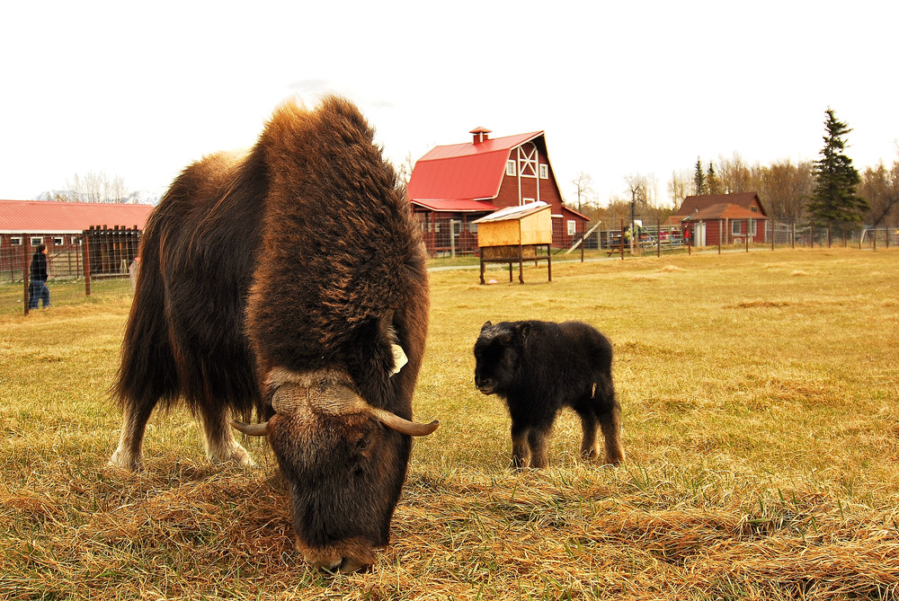 Visit and learn about prehistoric Musk Ox.
