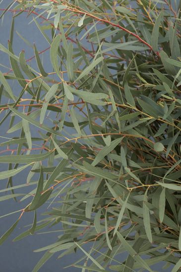 Willow Eucalyptus