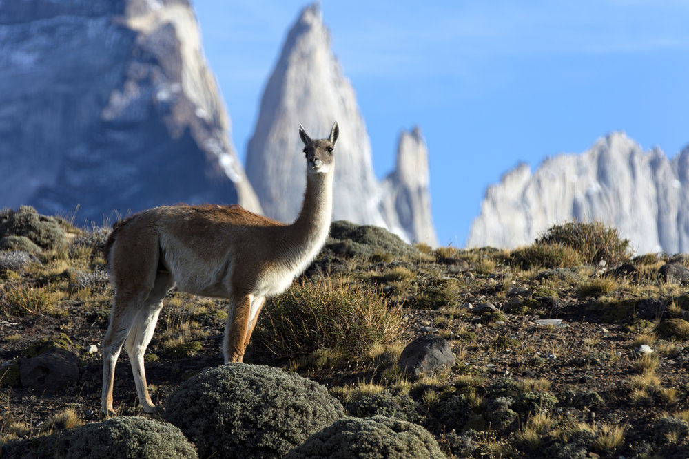 guanaco and mountains.jpg