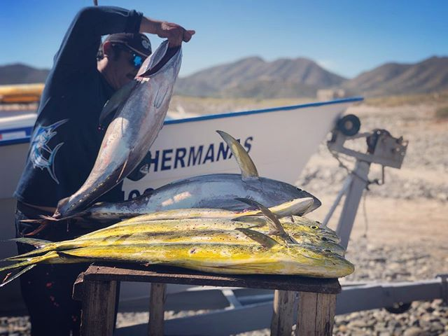 Not a bad days catch with @samsitkin, @fullerbanjo and the one and only @israelluceroortiz.  #seaofcortez #yellowfintuna #dorado #baja #bajacaliforniasur