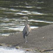 large_heron.JPG.jpg