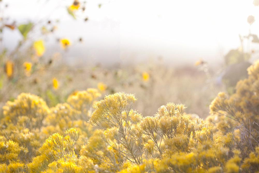 Gold flower field art print-Melissa Kelsey