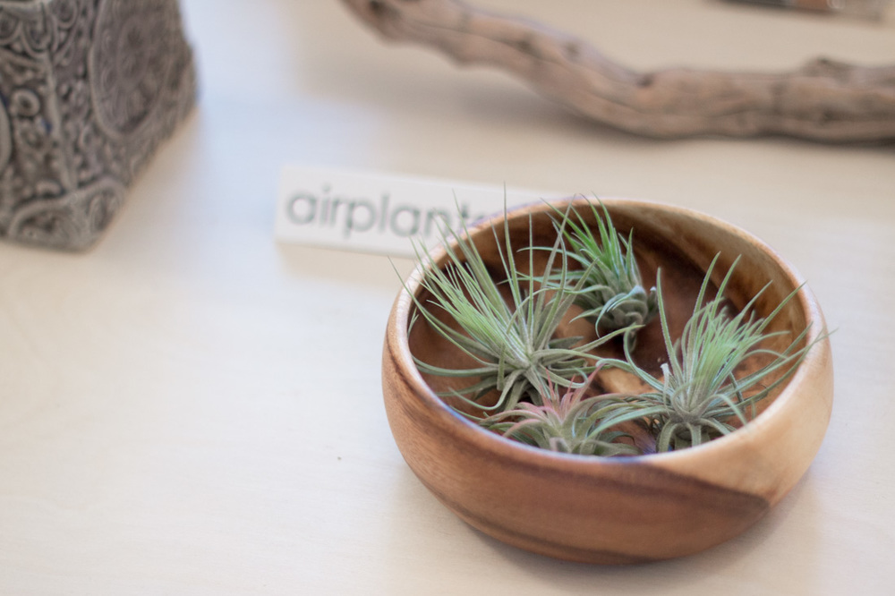Air plants at Verde Plant Design in Winnipeg, Manitoba // via thebotanical.ca