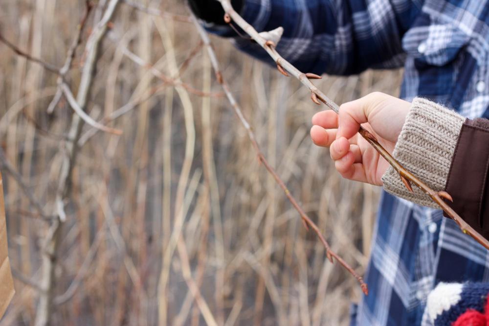 Picking balsam buds // via www.thebotanical.ca