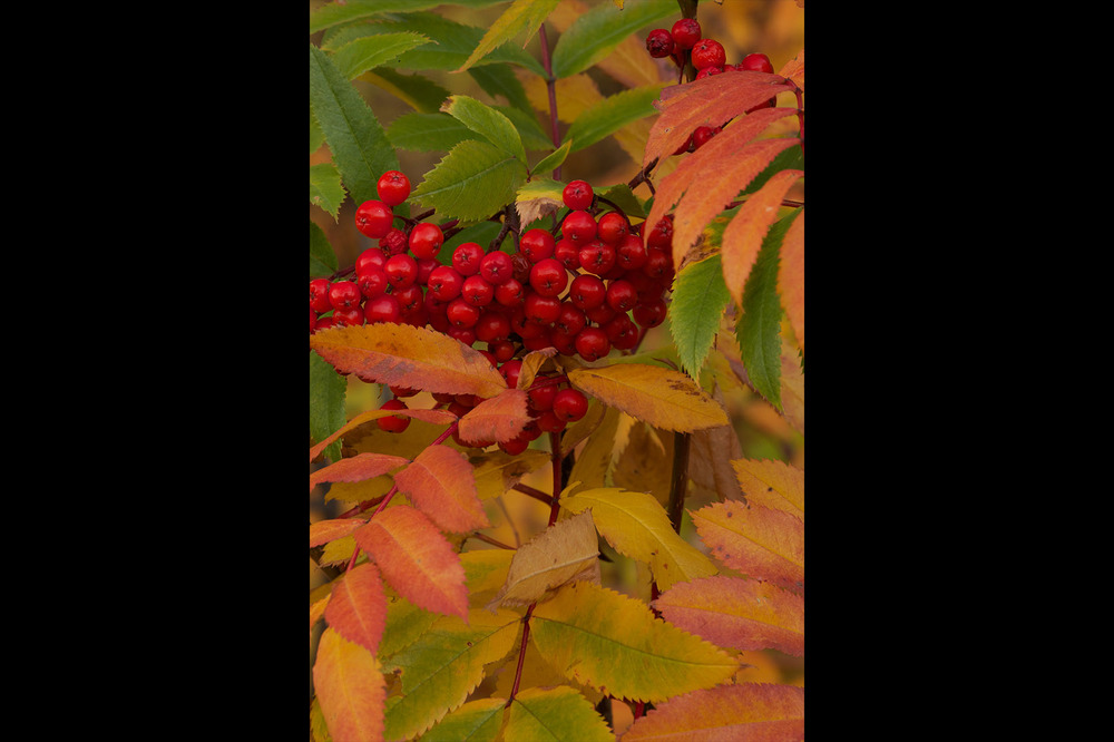 Mountain Ash berries, Autumn