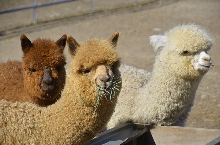 The Alpaca Camelid