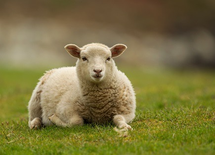 A young sheep.