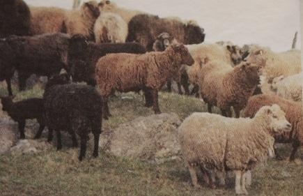 Voe Shetland Sheep