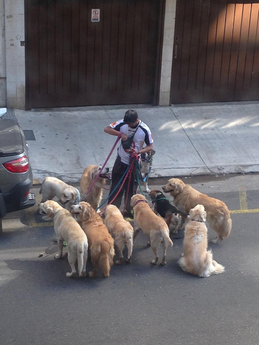 How many labradors?