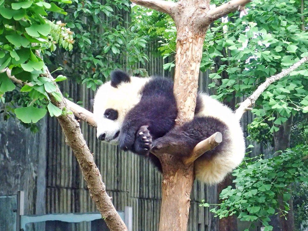 Panda Research Centre in Chengdu