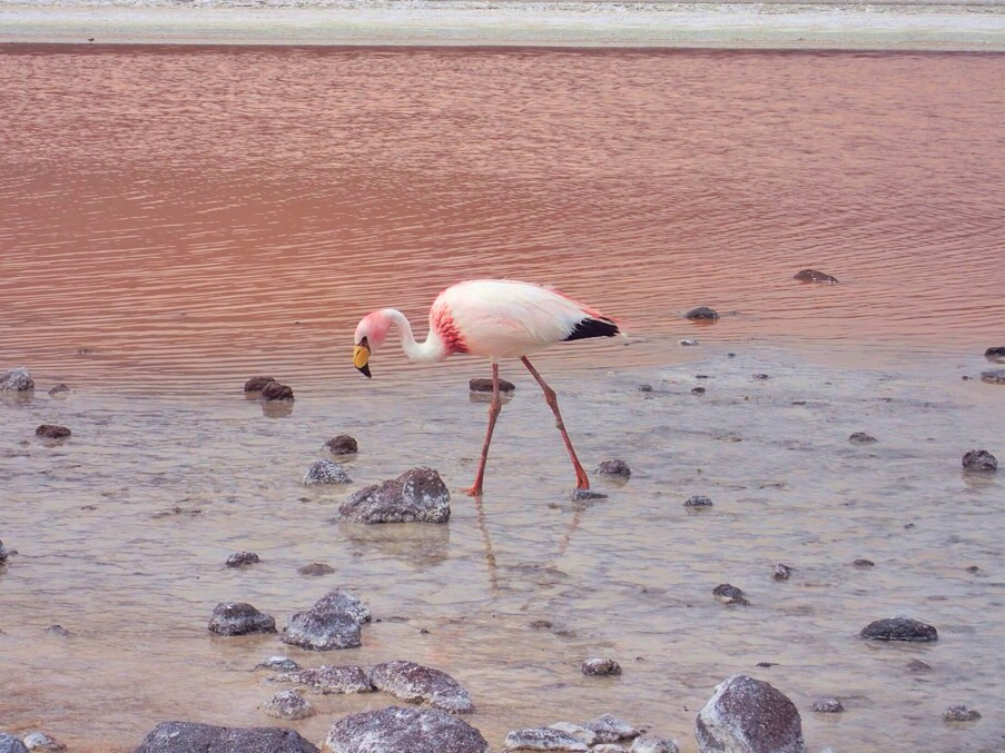 Flamingo in the  Laguna Colorada