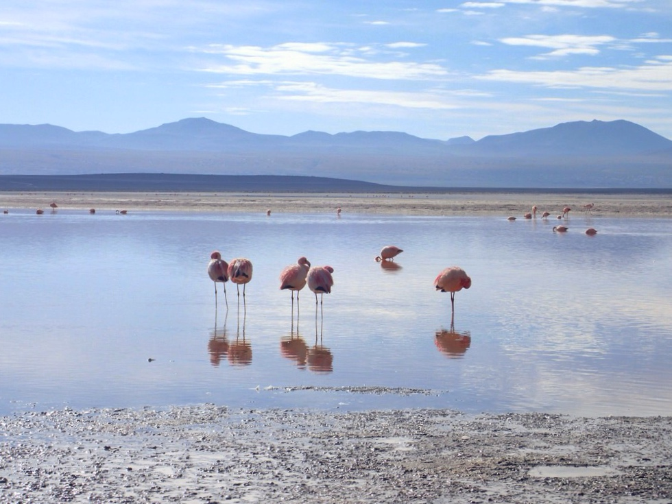 Flamingos in Bolivian lake