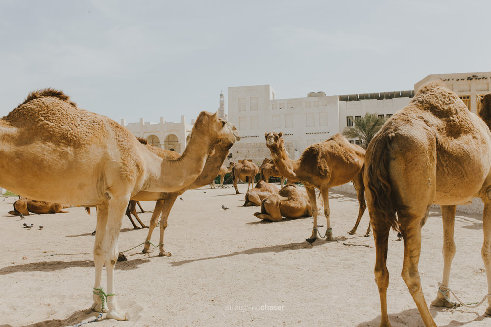 Camels in Souq Waqif Doha, Qatar: Honeymoon Travel Photos